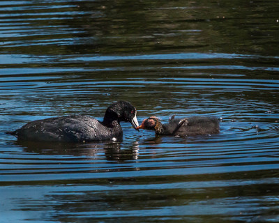 American Coot & Chick