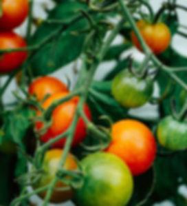 tomatoes-web.jpg