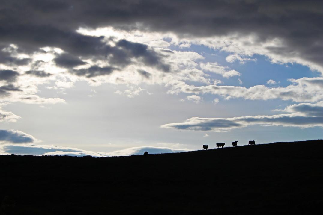 Cows in heaven, Ireland