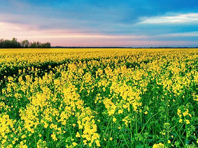 Canola-in-bloom.jpg