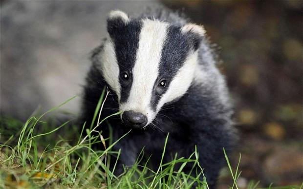 Badger Sett Mystery!