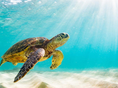 Turtle Tuesday Beach Cleanups are Back!