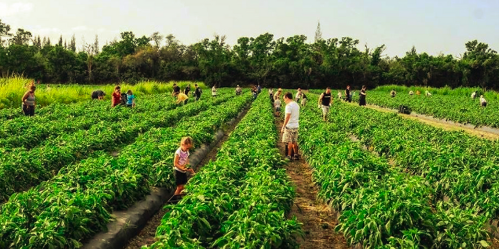 Vegetable Picking for Palm Beach County Food Bank