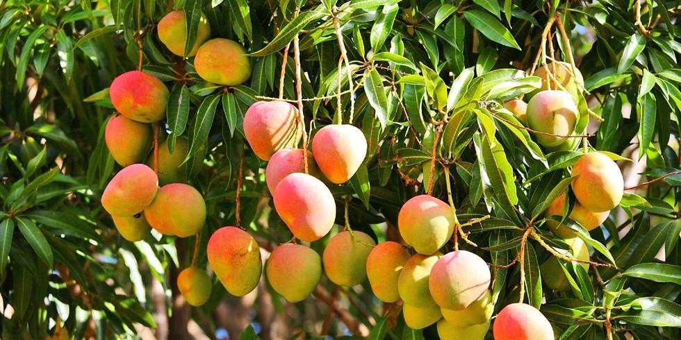 Mango Gleaning
