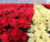 Poinsettia1.jpg