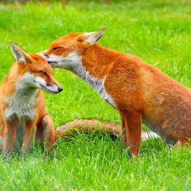 free-fox-wallpaper-1.jpg
