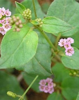 Punarnava plant.jpg
