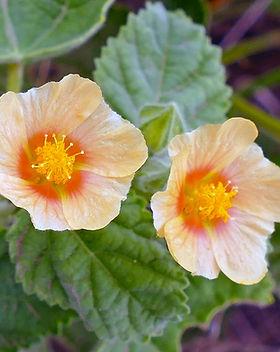 Bala plant.jpg