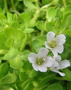 Brahmi plant.jpg
