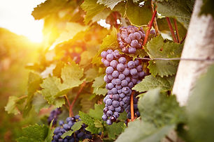 PIC-Grapes-on-a-vine.jpg