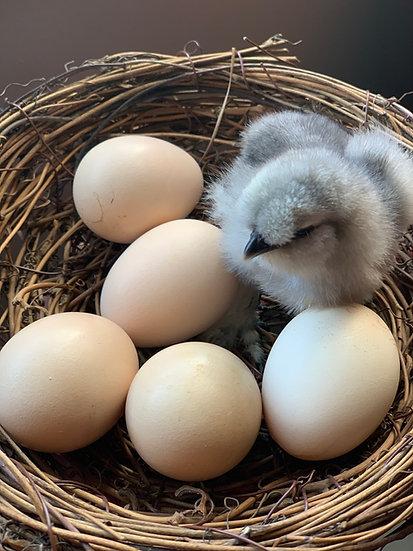 Fertile Silkie Eggs