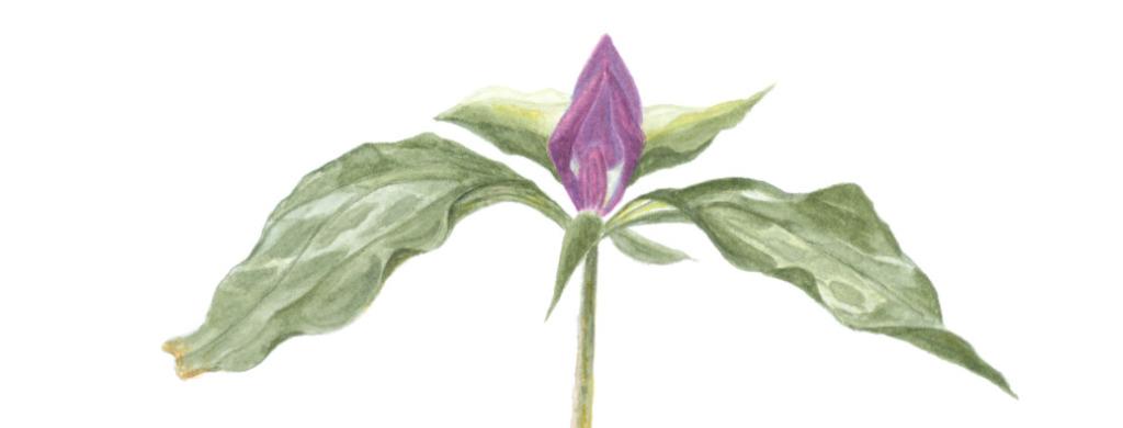 Celine Lillie. Prairie Trillium