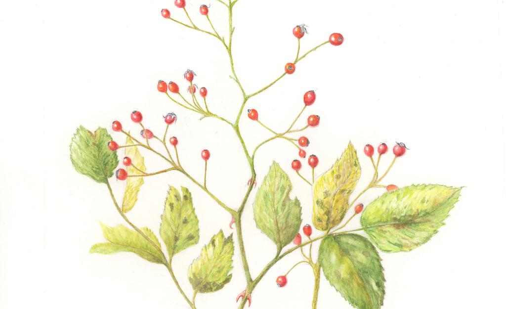 Jean Meilinger. Multiflora Rose