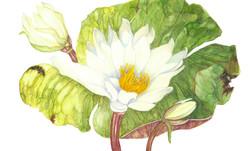 Sandra Kessel. Fragrant Waterlily