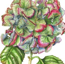 Barbara Klaas. Hydrangea macrophylla