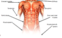 Front Torso Muscle Structure