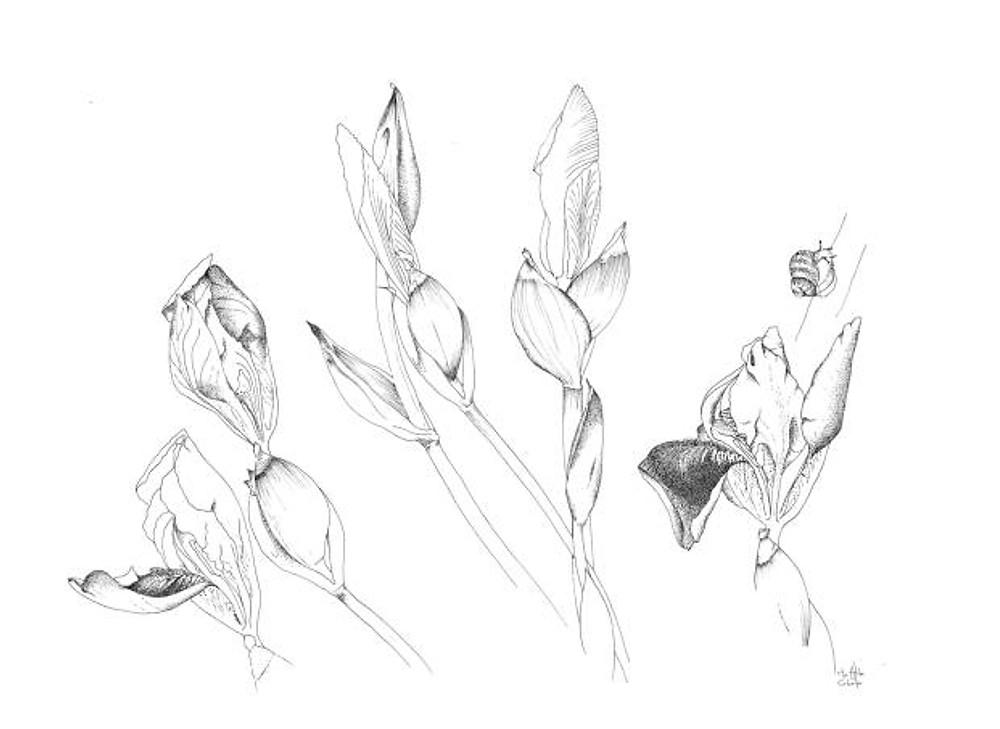 flora - iris