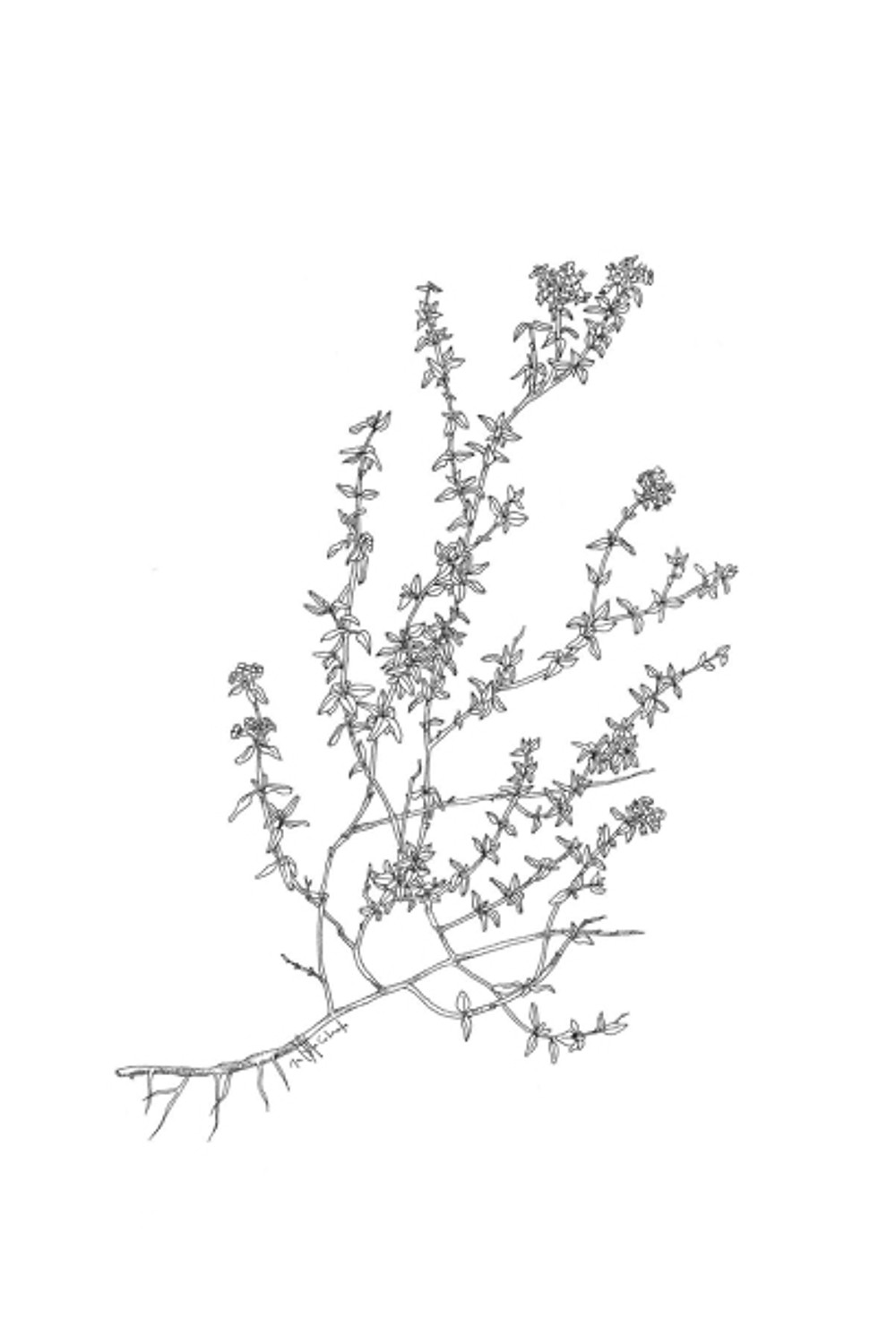 flora - thyme