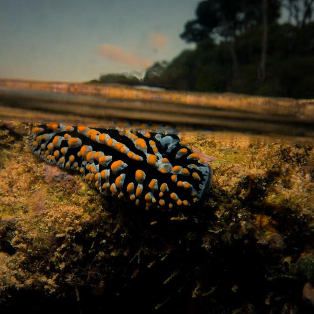 Slug in the intertidal zone