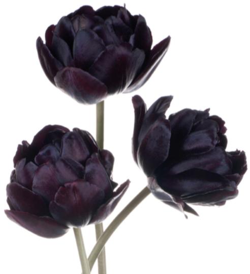 Flor del tulipán púrpura
