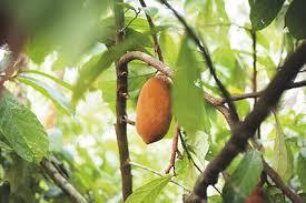 Árbol de cupuaçu con su fruto