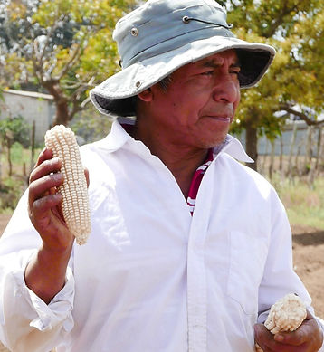 Smallholder farmer shows larger ear of corn