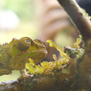 Camera-shy Chameleon