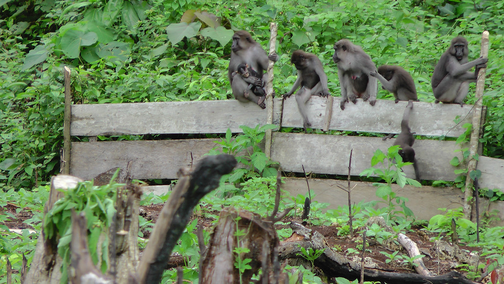 a family of Buton Macaques sit on a farm fence.