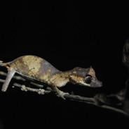 Euryplatus Gecko