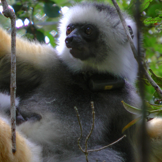 Golden Sifaka