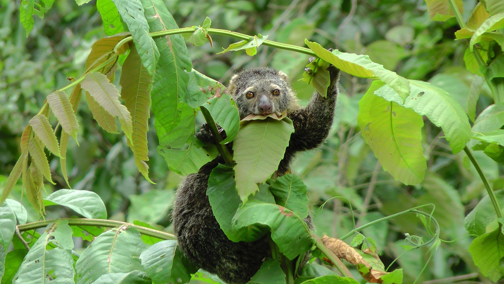 A Bear Cuscus munches enthusiastically on leaves.