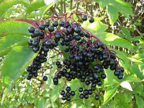 How to best use your foraged Elderberries