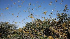 Locust Attacks in UP; Several Districts Including Jhansi, Prayagraj Put on Alert