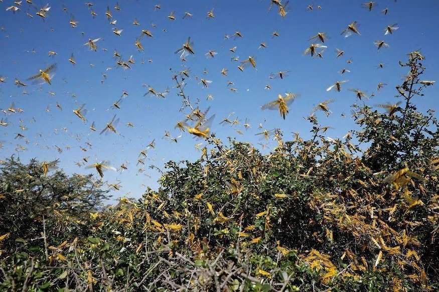 Locust Attacks in UP
