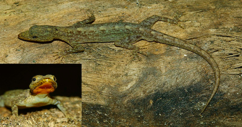 New gecko species discovered in Kerala