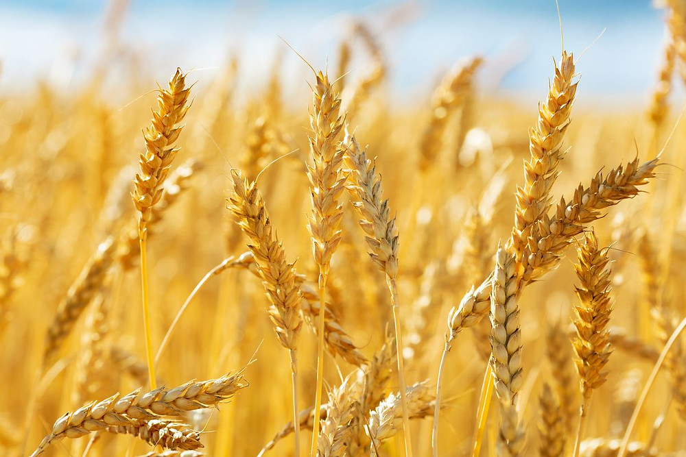 Argentina becomes 1st country to approve genetically modified wheat