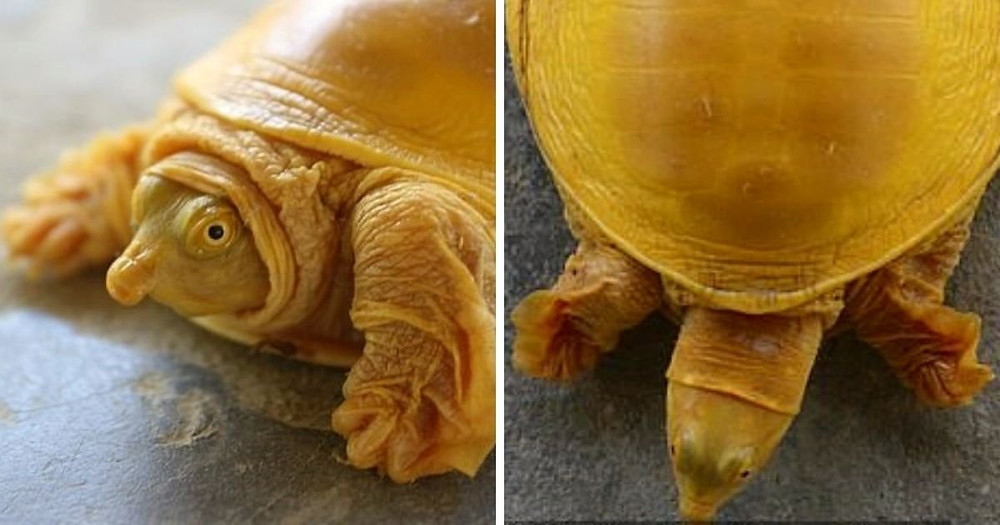 Dazzling gold turtle discovered in Nepal
