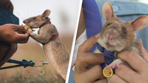 Rat detected landmines: awarded the gold medal