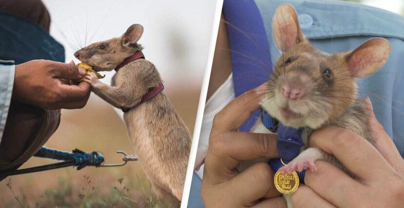 Rat detected landmines: awarded the gold medal