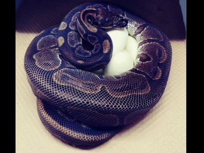 Python in US zoo lays 7 eggs without male help