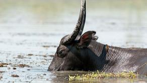 5 men in Kerala killed pregnant wild buffalo