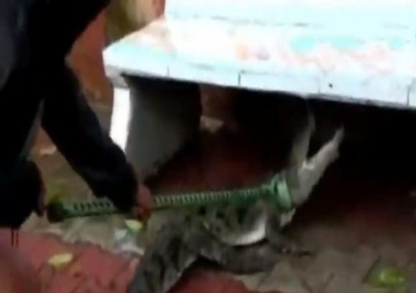 5-foot crocodile rescued was hiding under a public seat