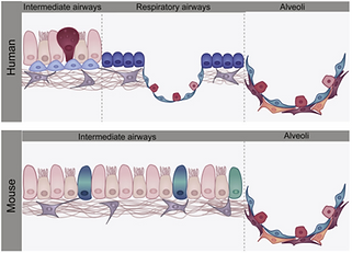 The Cellular and Physiological Basis for Lung Repair and Regeneration: Past, Present, and Future