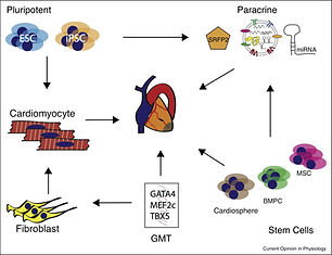 Heart regeneration in mouse and human: a bioengineering perspective