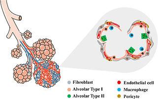 Bioengineering of Pulmonary Epithelium With Preservation of the Vascular Niche