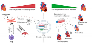 Extracellular Vesicles in Cardiac Regeneration: Potential Applications for Tissues-on-a-Chip