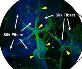 Learning and synaptic plasticity in 3D bioengineered neural tissues