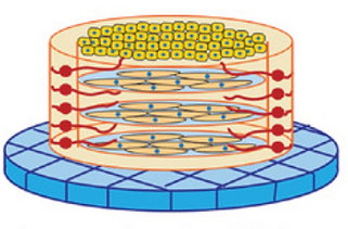 Assembly and Application of a Three-Dimensional Human Corneal Tissue Model