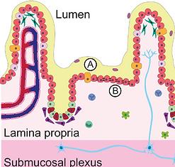 In Vitro Models of Intestine Innate Immunity
