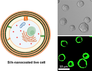 Synthesis and Characterization of Silk Ionomers for Layer-by-Layer Electrostatic Deposition on Individual Mammalian Cells